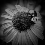 Bumblebee on Purple Coneflower with Infrared Effect
