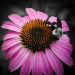 Bumblebee on Purple Coneflower with Greens and Yellows Desaturaed