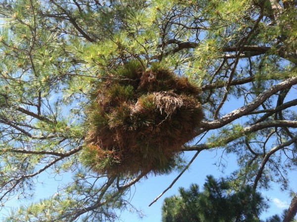 Witch's Broom in an Eastern White Pine. Photo by Jason Graf