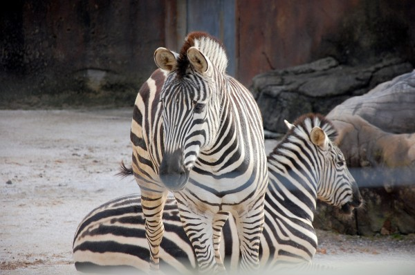 Zebras, Knoxville Zoo