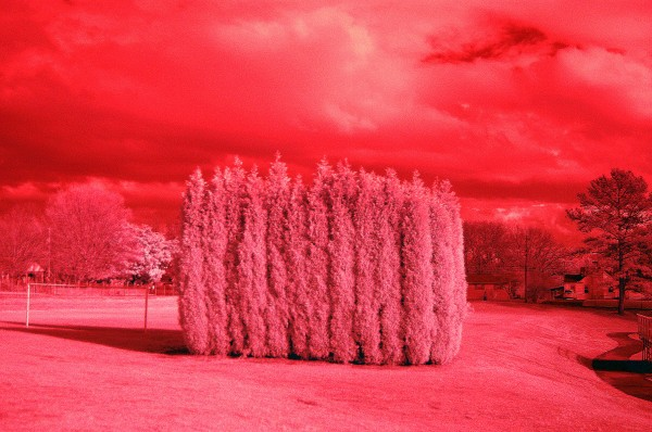 Leyland Cypress Trees in Infrared